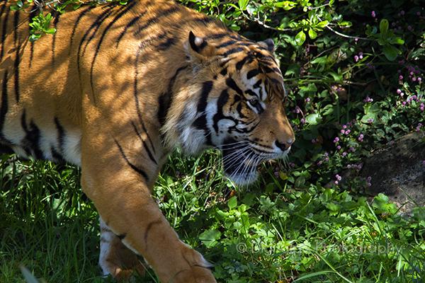 IMG_3616-blog-tiger