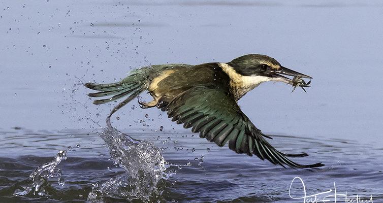 Fast feathers in flight