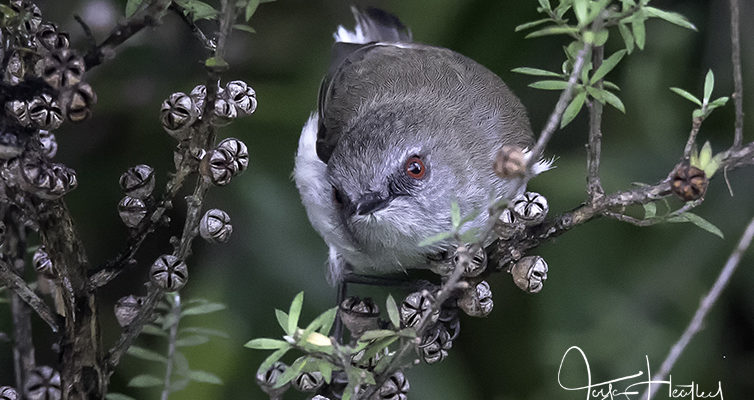 Fantails and Grey Warblers