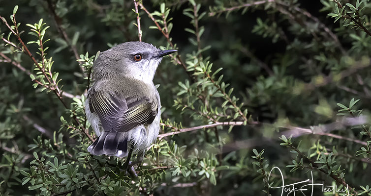 Even more Grey Warblers