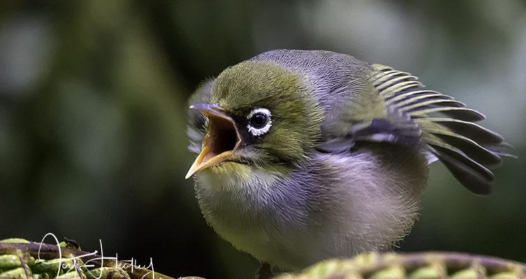 Little balls of fluff – Silvereye fledglings
