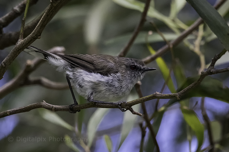 grey warbler or riroriro