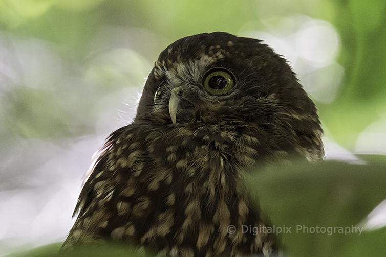 morepork or owl