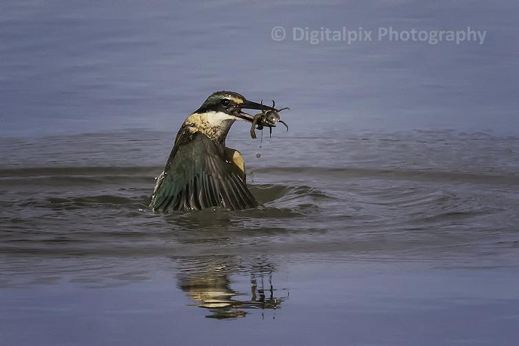 kotare or Sacred Kingfisher