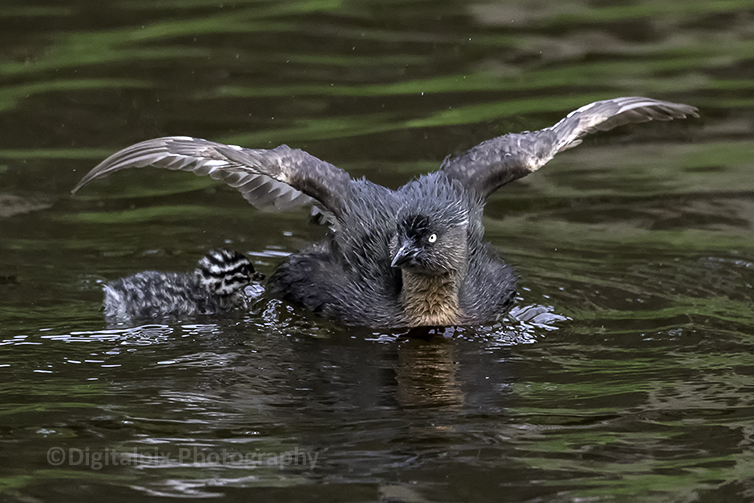 Dabchick with chick