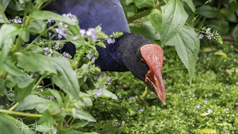 A visit to the pukeko family