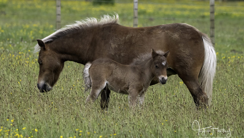 Miniature Horses and Their Foals
