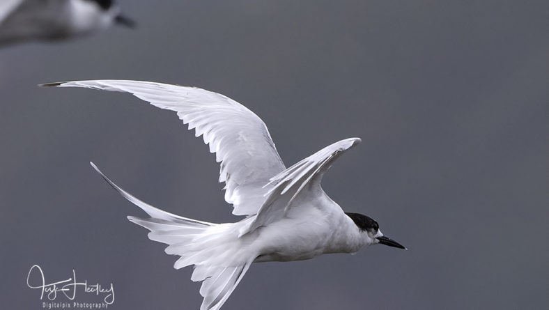 White-fronted terns at Scorching Bay