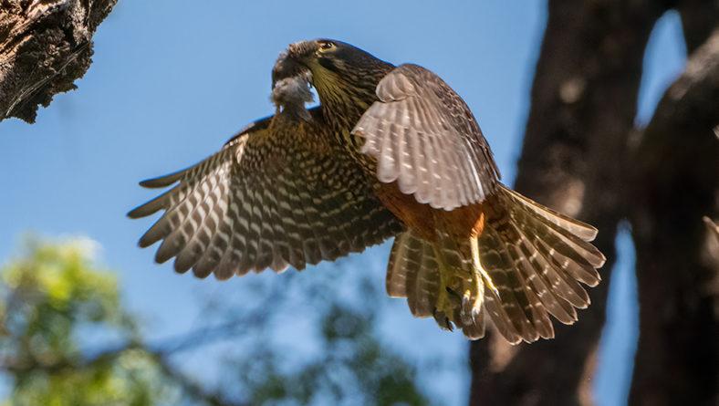 Still more Falcons