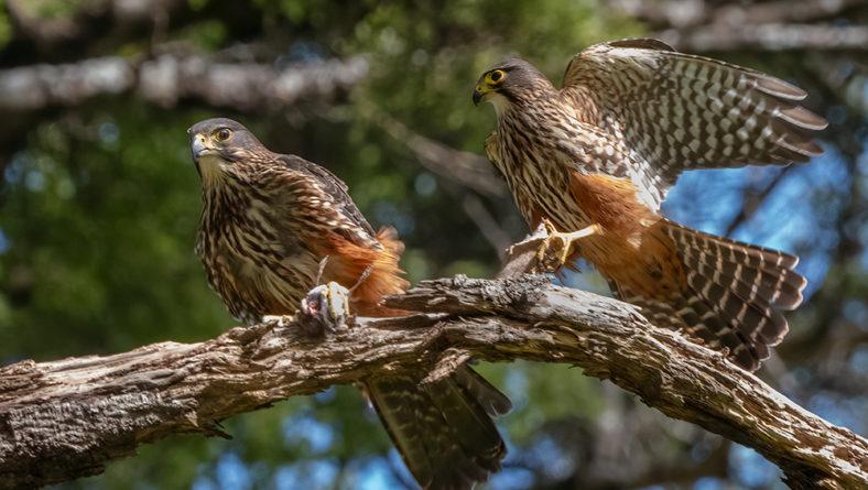 New Zealand Falcons