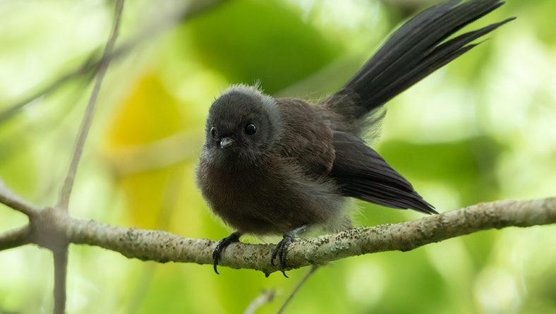 The Black Morph Fantail