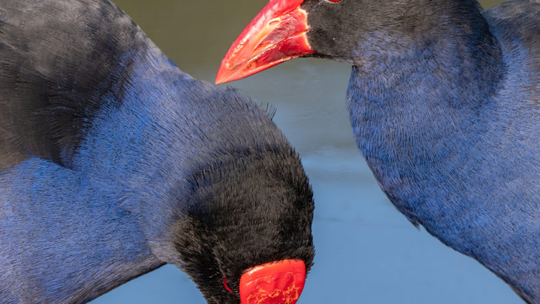 The Mighty Pukeko