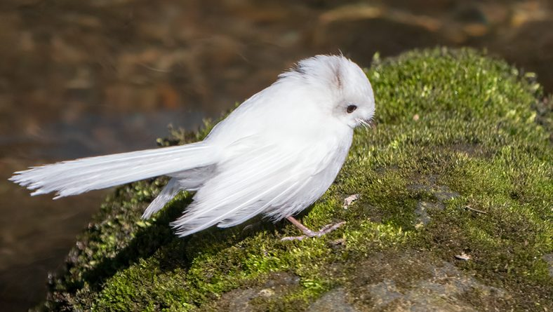 More on the Leucistic Fantail