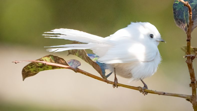 Last full day with the Leucistic Fantail