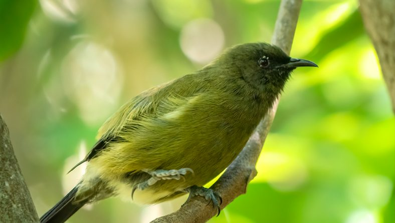 All about the bellbirds